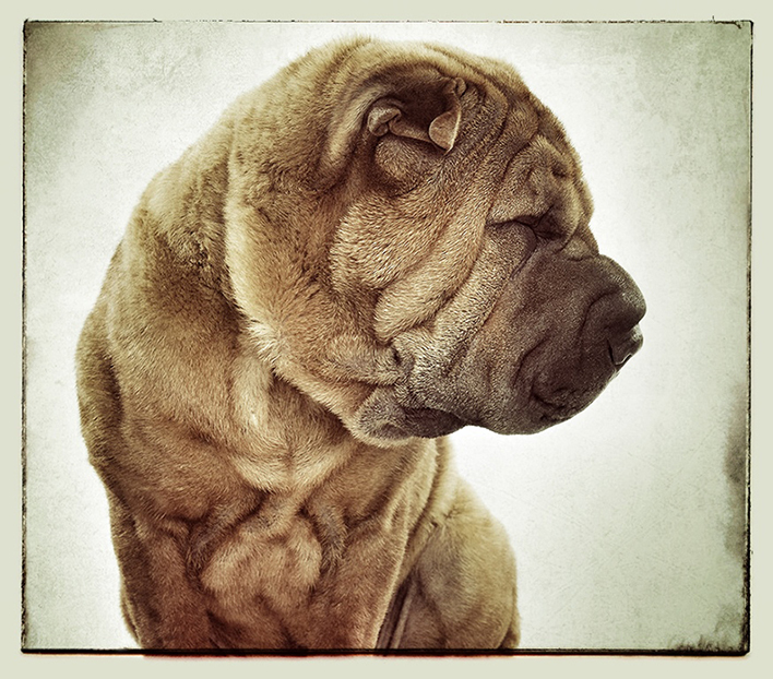 Shar Pei portrait for Animal Planet