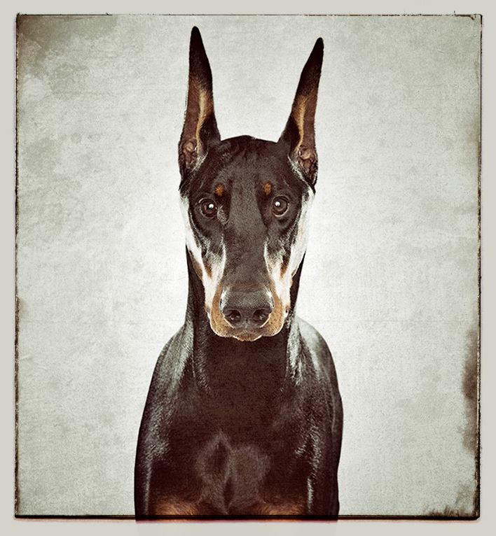 Doberman portrait for Animal Planet
