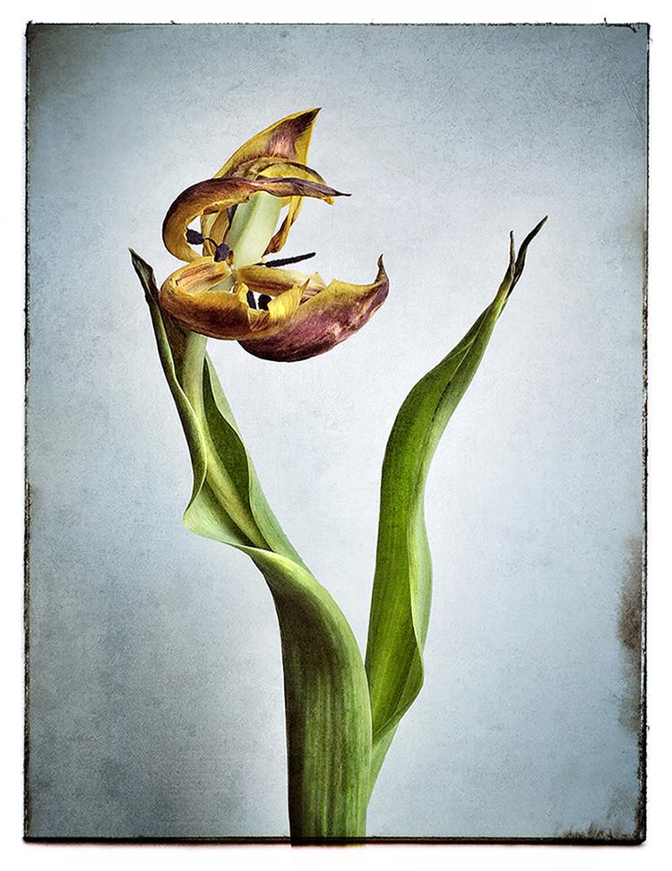 Dying flower against white